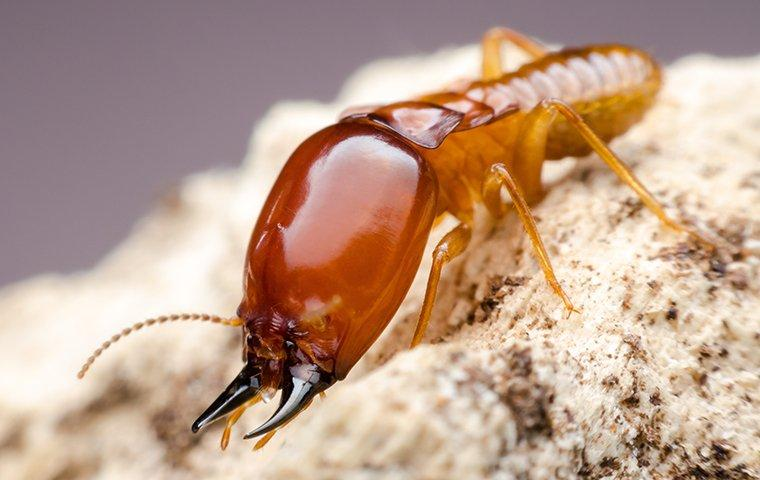 a large termite in sawdust