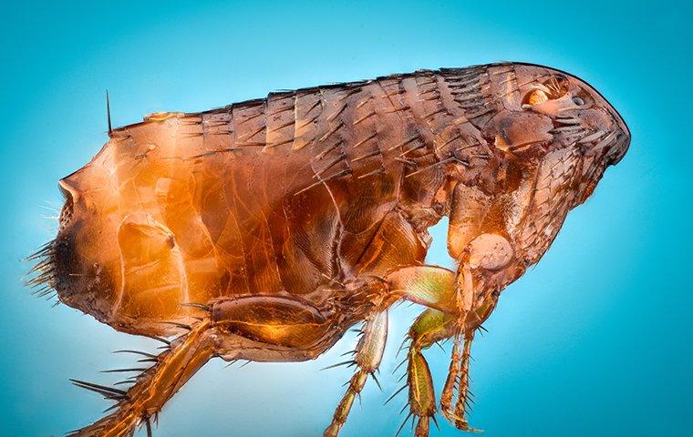 a flea up close with blue background