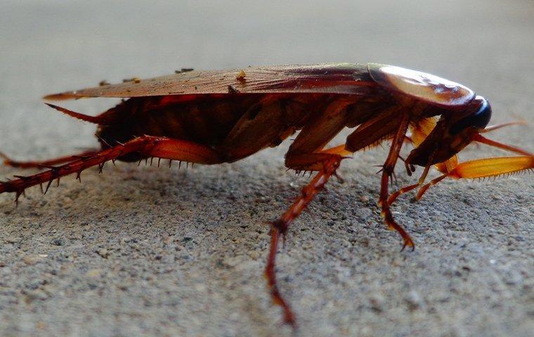 american cockroach in a basement