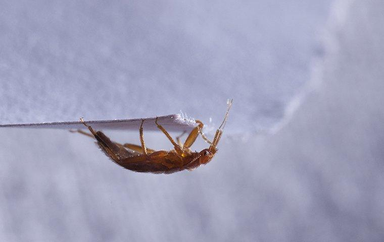 bed bug crawling upside down