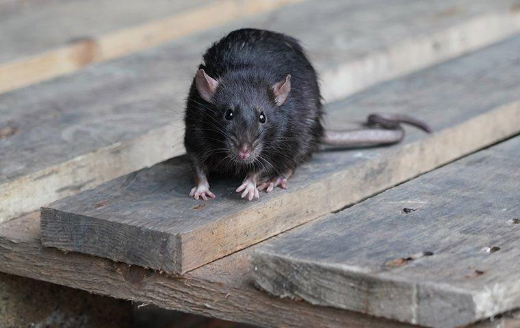 a rat on a wooden pallet outside