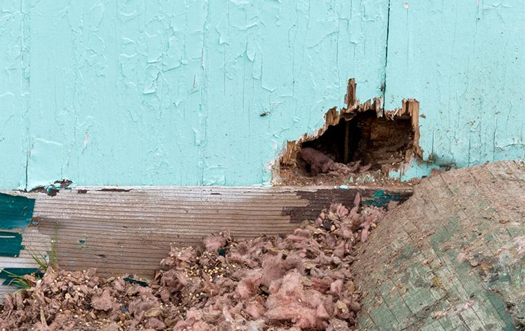rodent damage to home