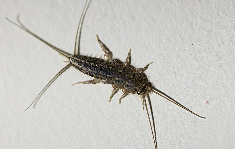 silverfish crawling on paper