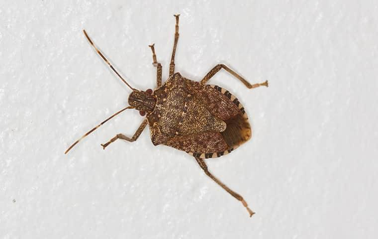 stink bugs on wall