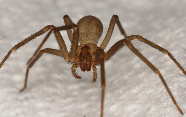 a brown recluse spider crawling on bathroom floor