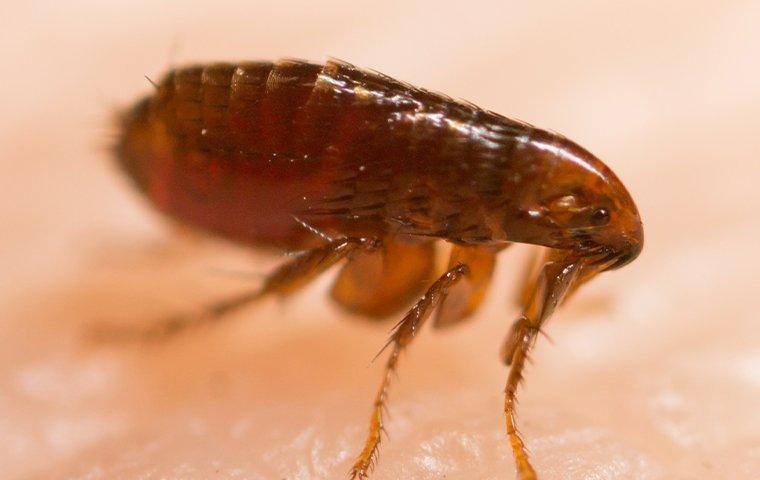 flea on a human