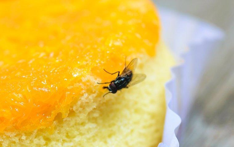 house fly eating cake
