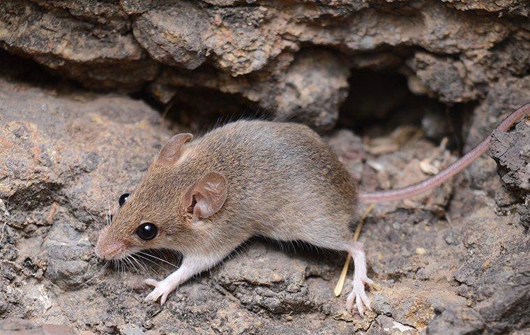 house mouse near foundation