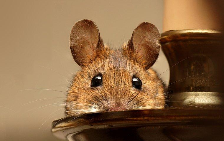 a house mouse on a candle stick in a north carolina home