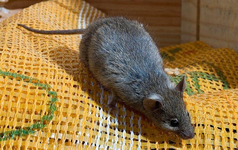 a house mouse on fabric