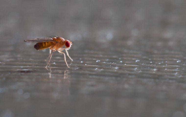 fruit fly in a house