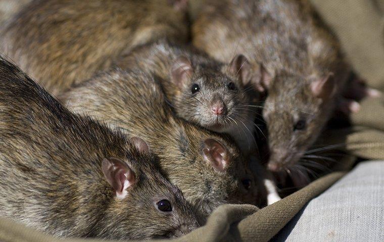 rodents eating trash