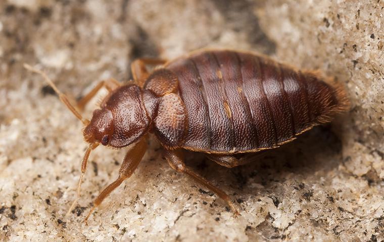 a bed bug on a foam mattress
