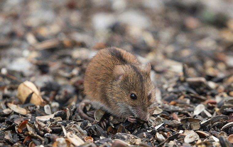 little mouse forageing