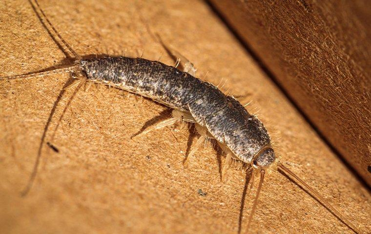 silverfish crawling on paper in a library