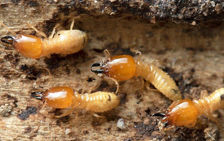 termites chewing tunnels
