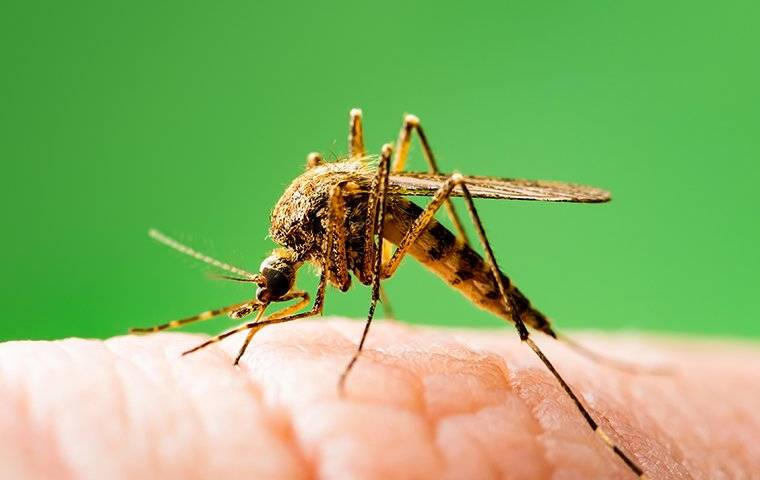 mosquito biting a hand