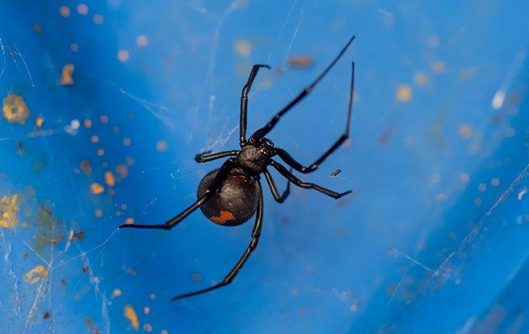 black widow spider making a web outside a home