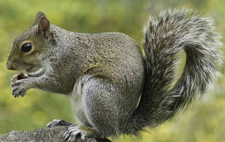 gray squirrel on a rock