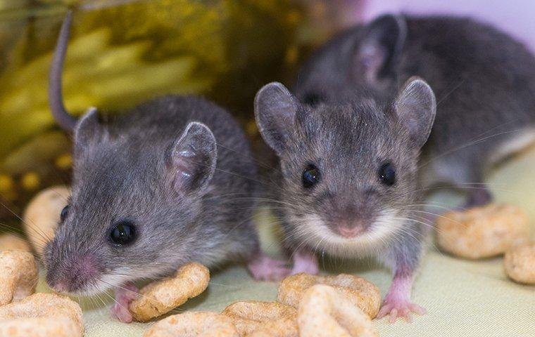 house mouse infestation in a dallas kitchen