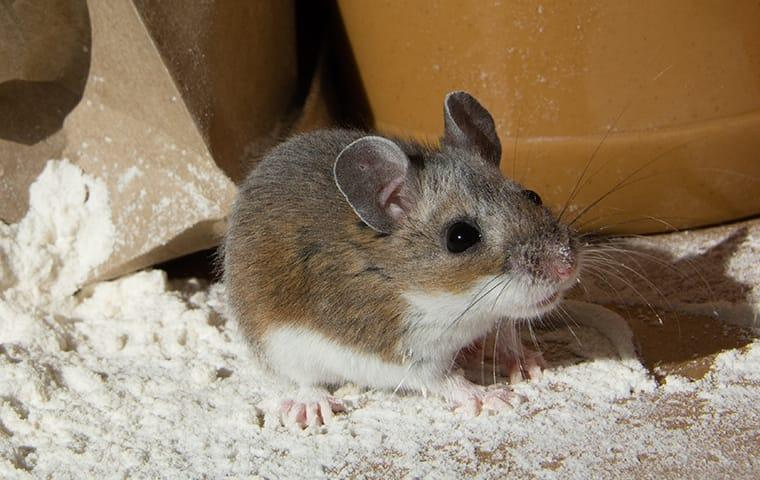 a house mouse in an frisco texas food pantry