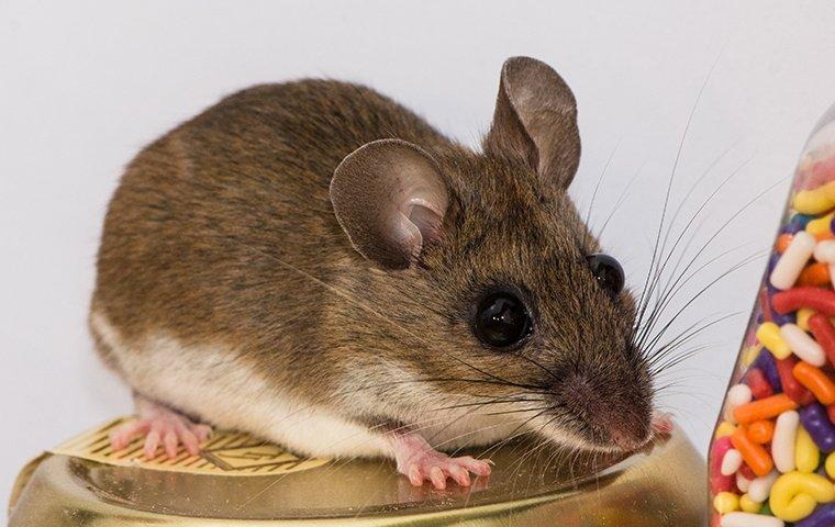 a house mouse sitting in a pantry