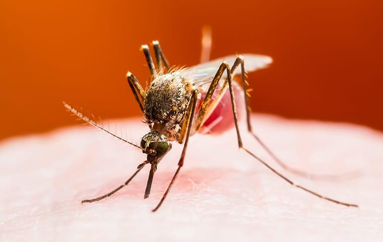 a mosquito biting a frisco resident as they are in a texas backyard durring fall season