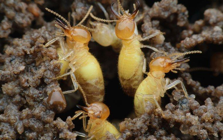 termites crawling on a chewed wood shed