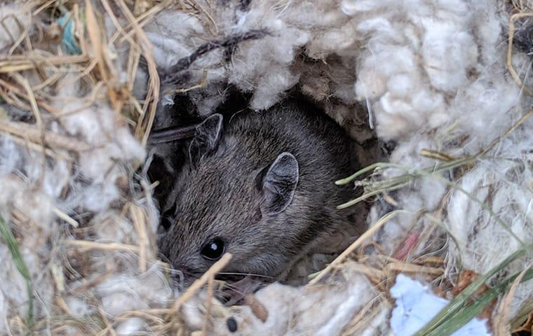 a house mouse hiding in the insolation between a frisco texas residential propertys walls