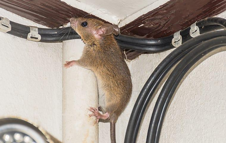 a mouse in a frisco texas home climbing on wires