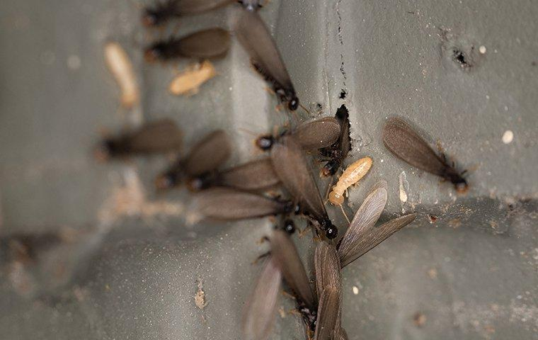 a colony of swarming termites crawling on a wall
