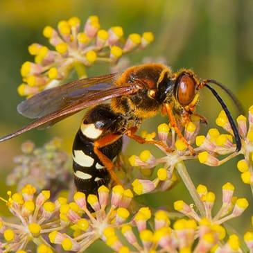 a cicada killer wasp pollinating flowers in dallas texas