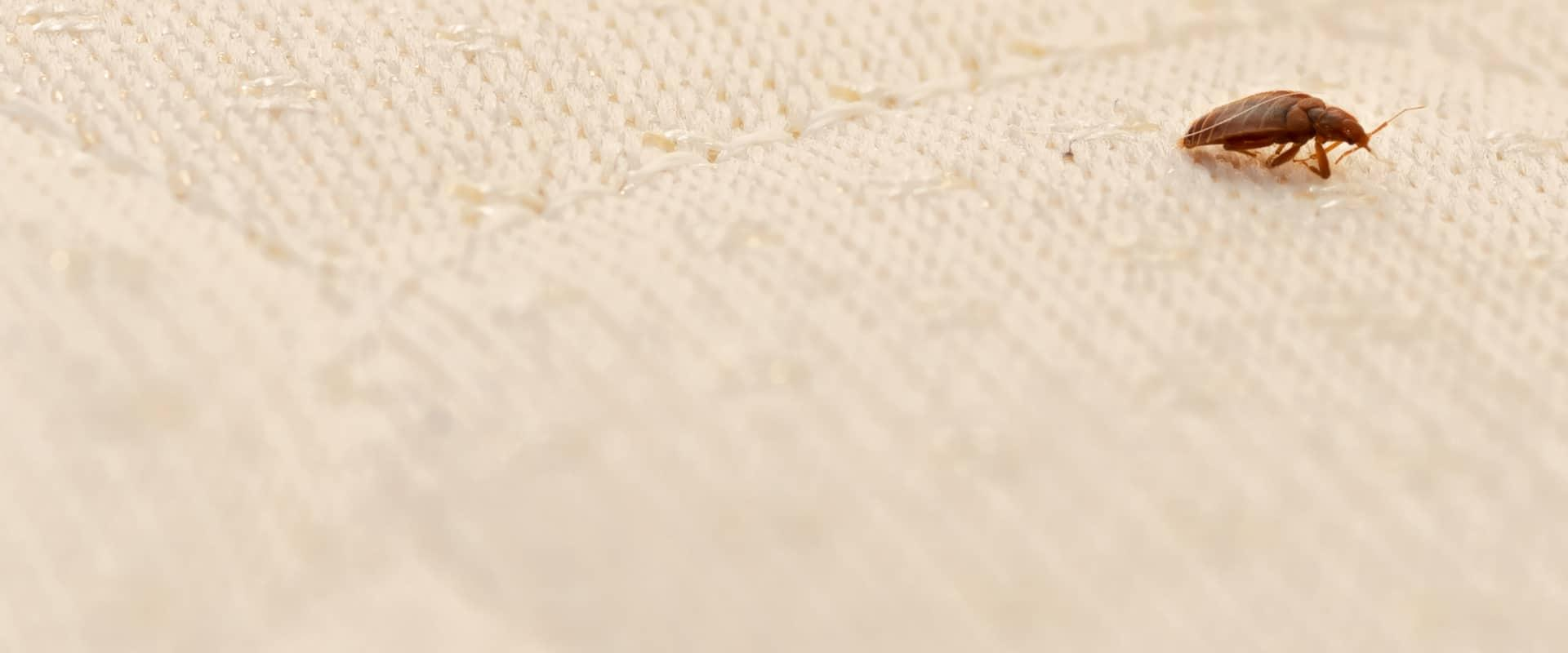 a bed bug crawling on a mattress in a home in richardson texas
