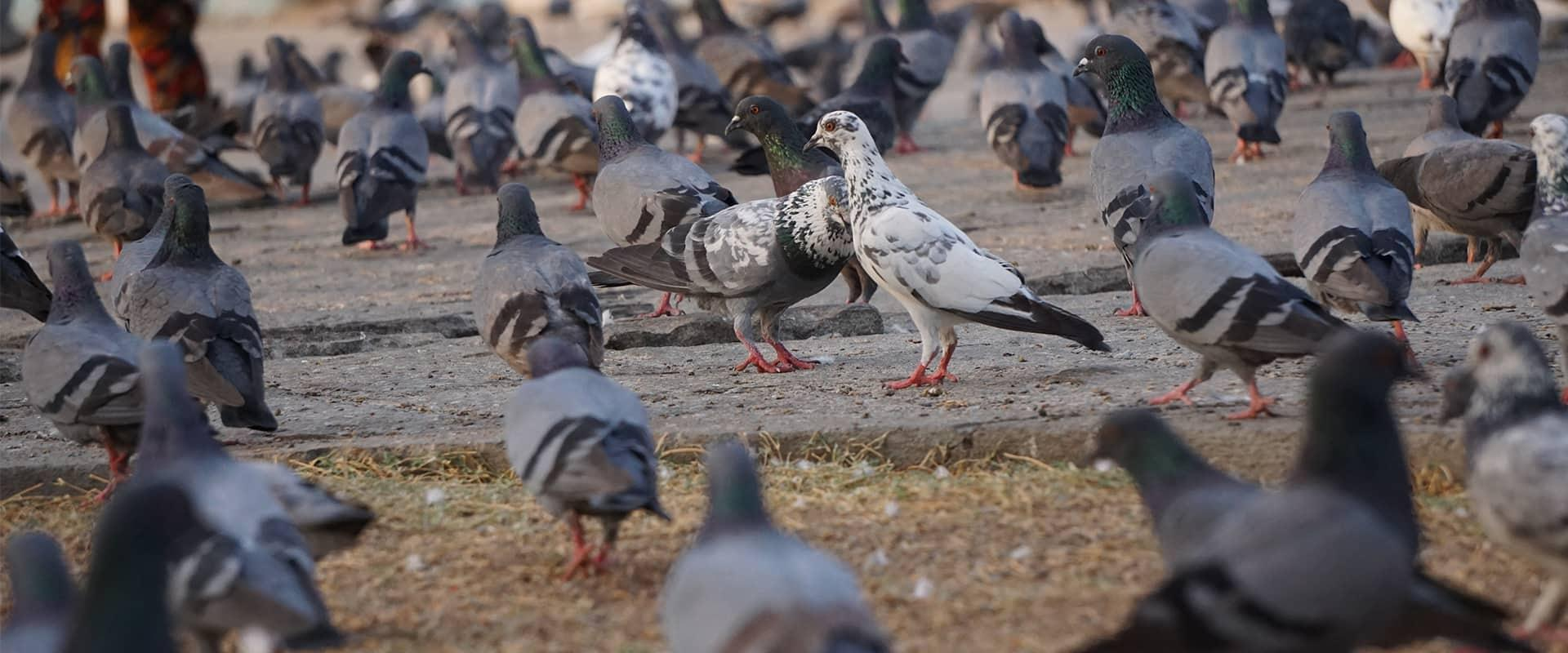 a flock of pigeons on the ground outside a business in mckinney texas
