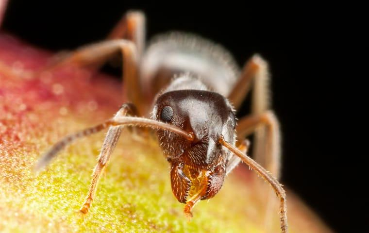 a pharaoh ant crawling on fruit in a kitchen in little elm texas
