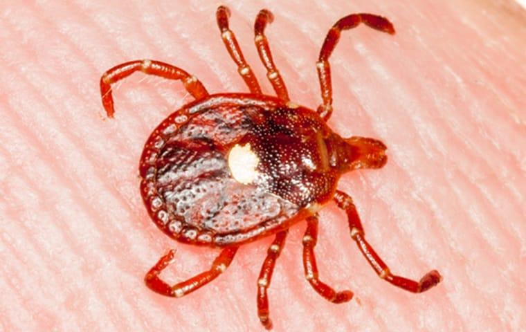 a lone star tick crawling on a persons skin in dallas texas