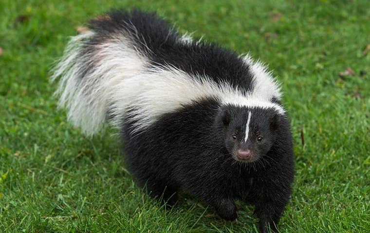 a skunk walking on a lawn at a home in lewisville texas