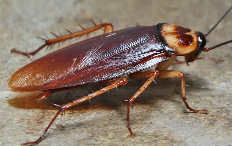 an american cockroach crawling on the floor in a dallas texas office
