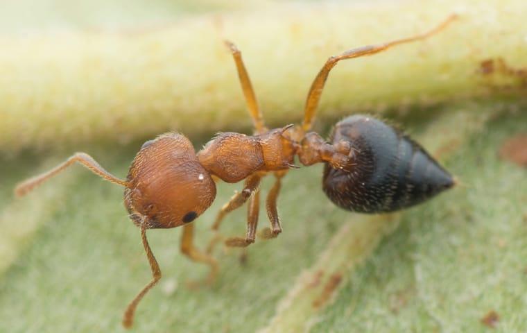 an acrobat ant crawling on a leaf in dallas texas