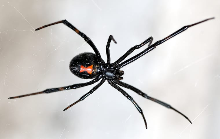 a black widow spider crawling in her web on a window in a dallas texas home
