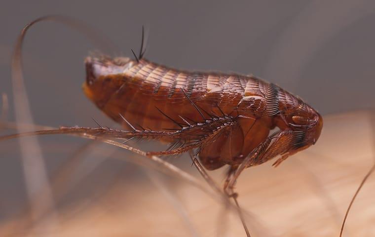 a flea crawling on human skin in dallas texas