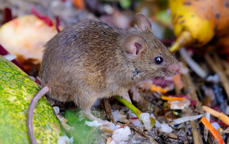 a house mouse crawling on a compost pile in a yard in dallas texas