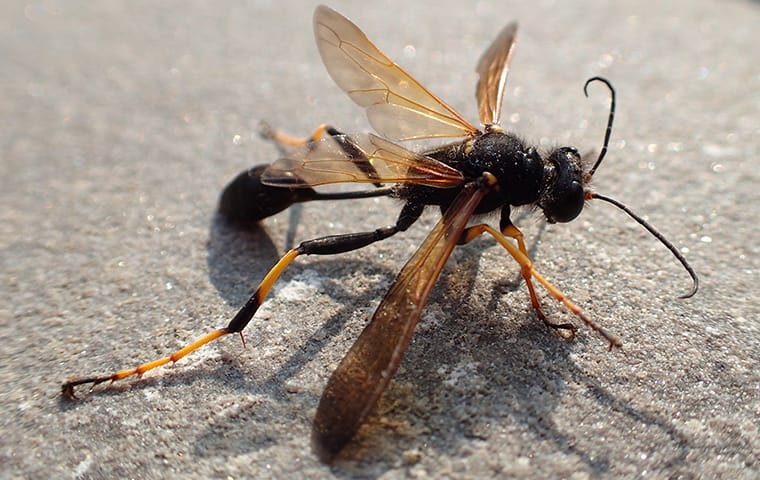 a mud dauber wasp crawling on pavement outside a home in dallas texas