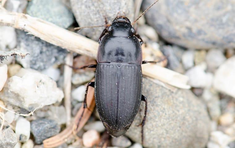 a ground beetle crawling in a dallas texas yard