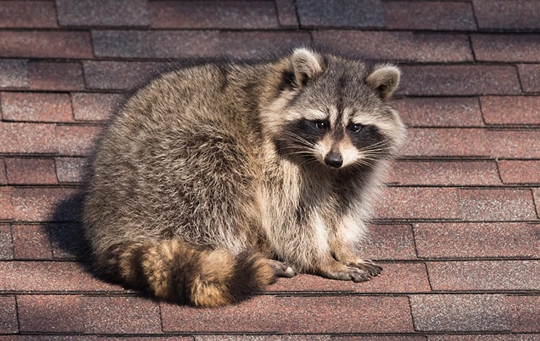 a raccoon sitting on a roof of a home in frisco texas