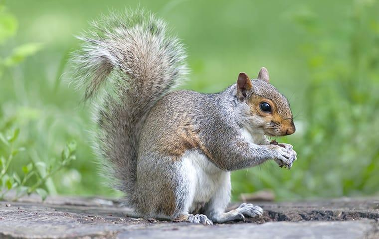 a gray squirrel eating food in a park in dallas texas