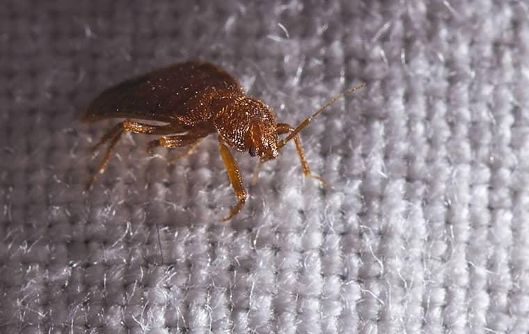 a bed bug on a bed