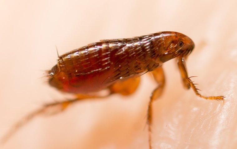 a flea biting human skin