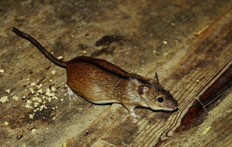 mouse on wooden floor