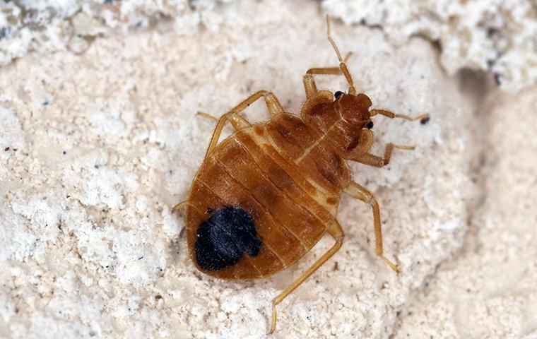 a bed bug crawling on a blanket in a home in hendersonville north carolina